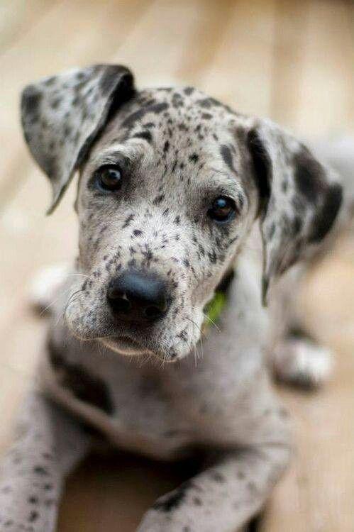 I think Bean needs a friend. I wish!! Such a cute Great Dane puppy!
