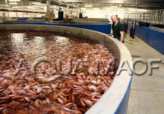 Fish industrial ras design engineering aquaculture tilapia for Tilapia fish farming