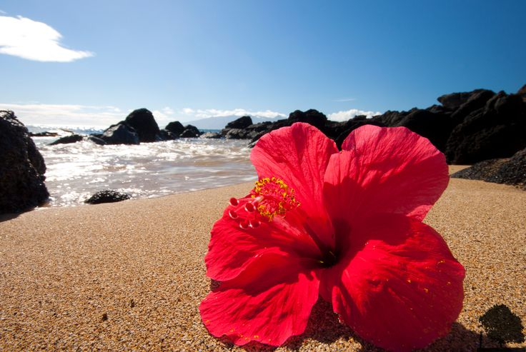 Beach Hibiscus