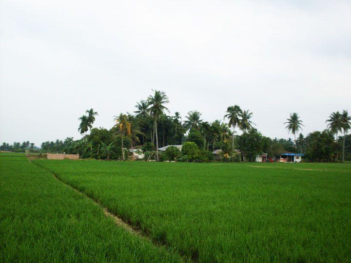 Paddy fields (Foto: Matheus Pinheiro de Oliveira e Silva)