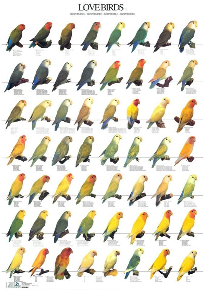 African Lovebirds Mutations Peach-faced lovebird - aviculture hub