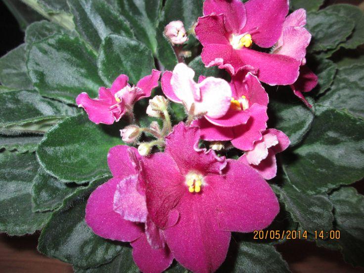 Fialka v květu