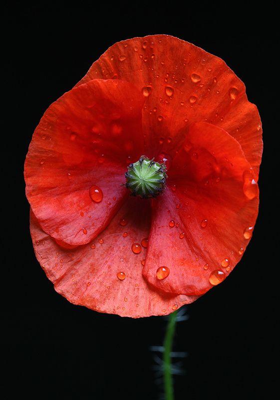 https://flic.kr/p/cnDifG |  The Weeping Poppy |  Poppy / Klatschmohn (Papaver rhoeas) - Large On Black in our garden - Frankfurt-Nordend