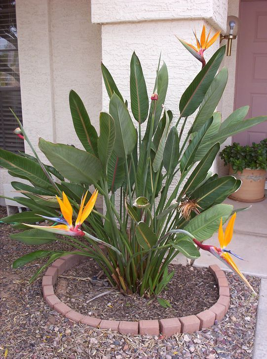 One Of The Many Things I Miss About So Cal Are All Cool Tropical Plants That Grow Everywhere Like This Bird Paradise Stuff Pinterest