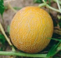 Выращивание дыни на собственном огороде