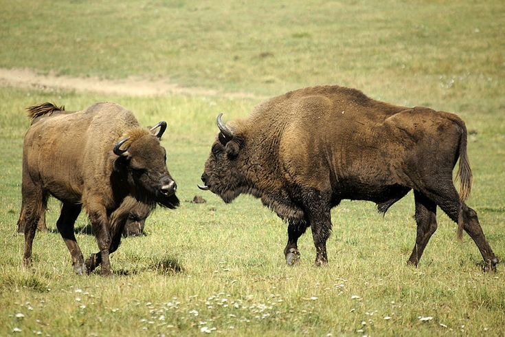 Bison once roamed throughout Europe. But by the 1920s, hunting and large scale deforestation had caused their populations to plummet, and they were declared extinct in the wild.  http://www.conservation-jobs.co.uk/58535/bringing-bison-back/