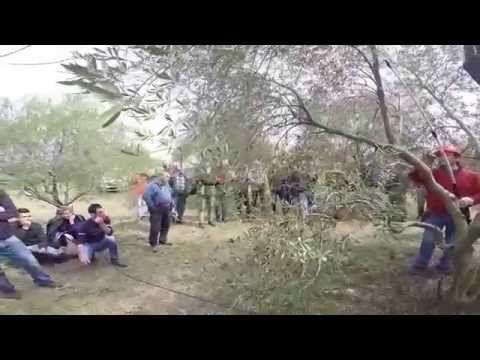 Prova pratica di potatura dell'olivo a vaso policonico - YouTube
