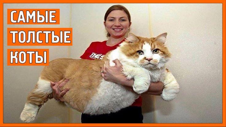 Прикол самые толстые коты || top fat cats