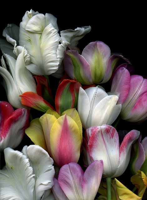 Tulips by Fred #Flowers #Tulips