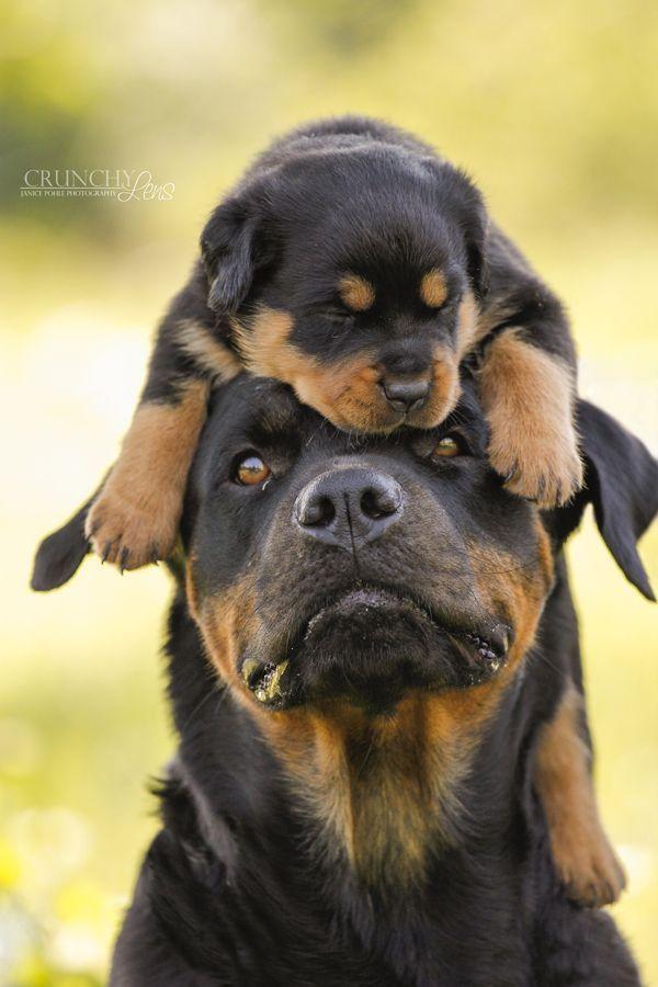 El Rottweiler es una raza de guardia. La gente dice que son bravos pero no lo son. Son bravos porque los dueños le enseñan a ser así.