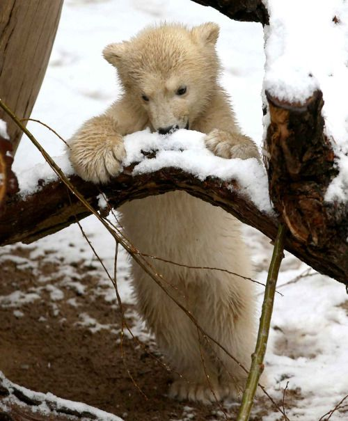 This baby polar bear tastes snow for the first time. Photo: Bernd Wuestneck /AP