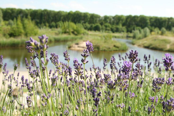 Geurende paarse Lavendel