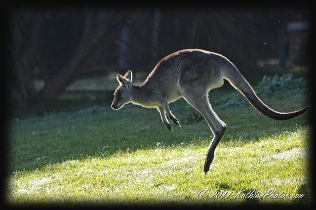 Kangaroo in the sun. I love watching them bounding along.