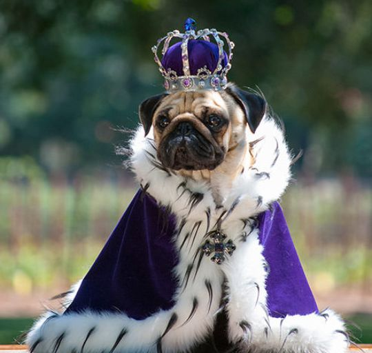 Pug in King Costume                                                                                                                                                                                 More