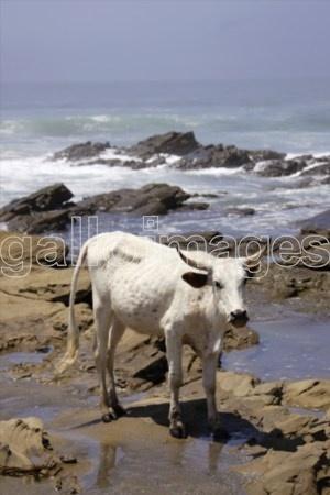 Cow On Beach, Wild Coast, Eastern Cape Province, South Africa