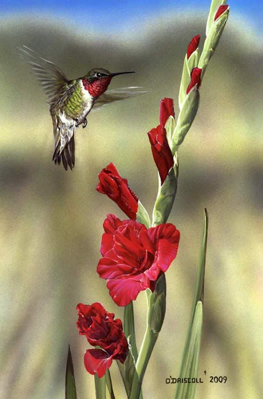 Gladiola and Hummer by Wildlife Artist Danny O'Driscoll