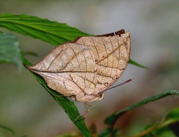 """A borboleta-folha-seca (Kallima inachus) é uma espécie que não tem simplesmente a cor do ambiente em que vive. Ela é um bicho """"mimético"""", uma variação da camuflagem, que imita também outras características para parecer algo que não é. A Kallima, no caso, imita perfeitamente o aspecto de uma folha seca.  fotografia: Reprodução / reppublica.it."""