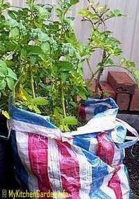 Growing Potatoes Part 2 : Growing in Pots, Containers and Tyres