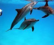 Ausflüge in Hurghada,Schnorcheln mit Delfinen-Delphinschwimmen Rotes Meer