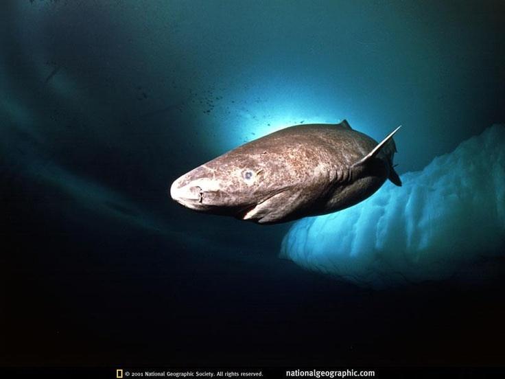 Pic by Nick Caloyianis/National Geographic - Greenland Shark/Somniosus microcephalus/Tiburón de Groenlandia Greenland Sharks are apex predators who eat EVERYTHING. Carrion, molluscs, squid, fish, seabirds, seals, small whales (!), horses (?), reindeer (?), polar bears (?!)... all have been found in their stomach / Los tiburones de Groenlandia son depredadores que comen todo. Carroña, moluscos, calamares, peces, aves marinas, focas, ballenas pequeñas... todos se han encontrado en su estómago