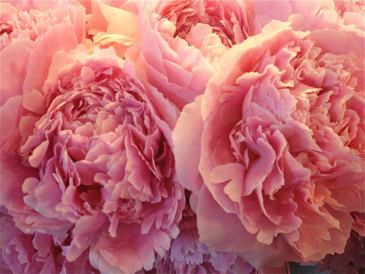 Pink peonies at Pike Place Market in Seattle where we're opening a new boutique this Fall!
