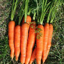 Carotte nantaise améliorée, semis en juillet, se conserve l'hiver.