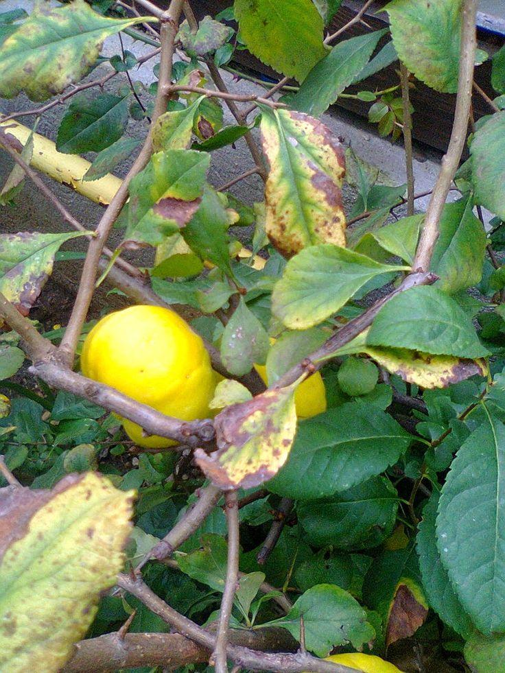 Adriana  Hobby: Gutuiul japonej un arbust frumos