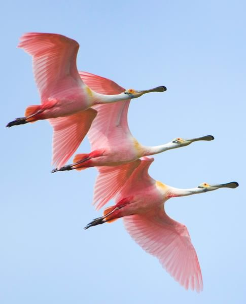 roseate spoonbills in flight by jorja feldman