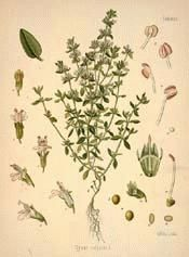 The pounded herb, if given fresh, from 1 to 6 OZ. daily, mixed with syrup, has been employed with success as a safe cure for whooping cough....