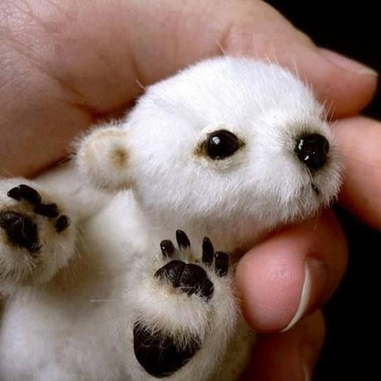Baby polar bear... DOLL! Stop thinking it's real, people! Google a real polar bear baby - it's like the size of a cat!