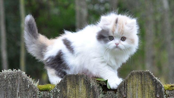 20 Dinge, die Sie über Munchkin-Katzen nicht wussten   – Cats