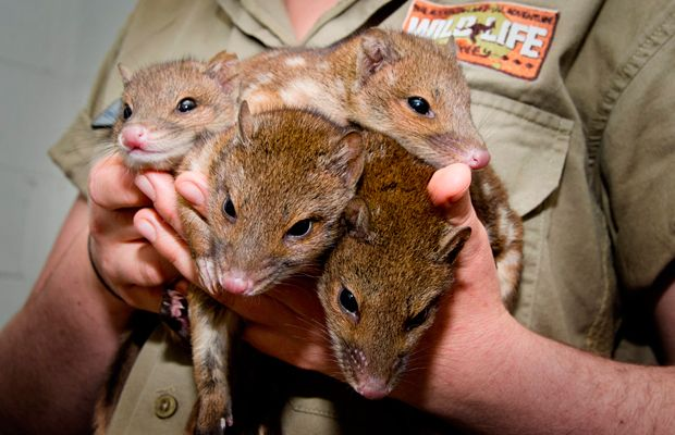 baby spotted tailed quolls