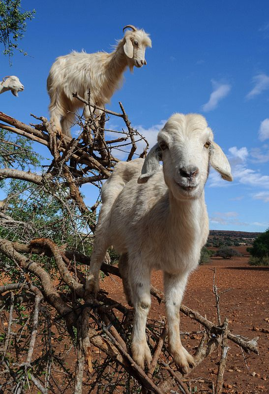Chèvres dans un arganier, au sud d'#Essaouira. #Maroc