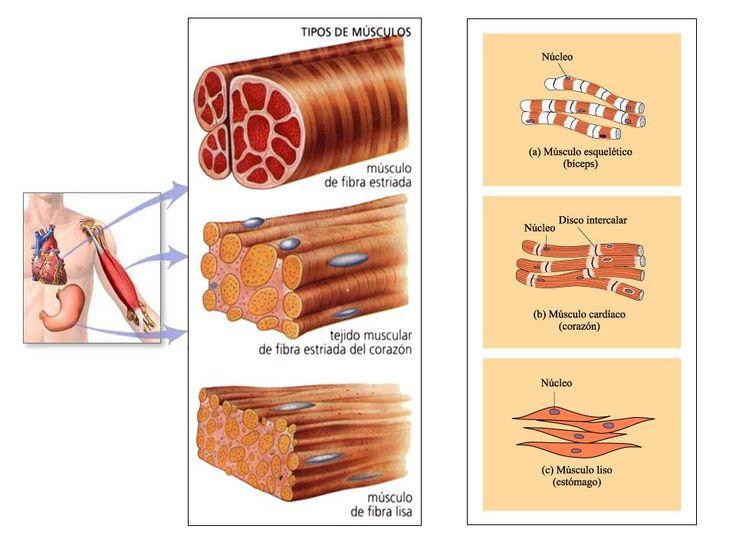 Sistema muscular. Tipos de músculos: de fibra estriada, cardíaca y lisa