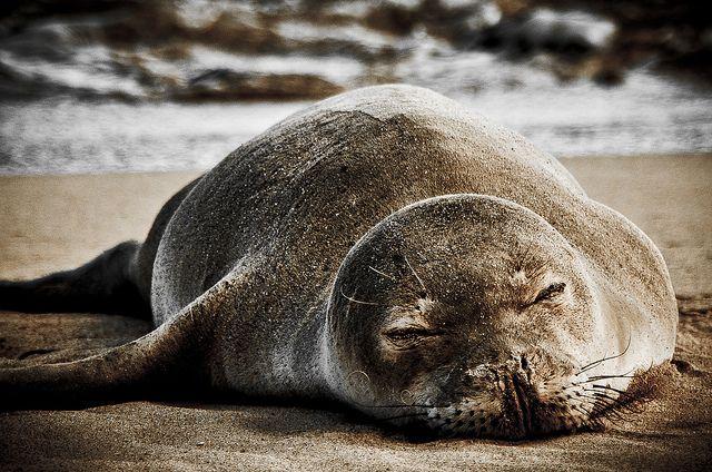Sleeping Hawaiian Monk Seal by Jared Wong