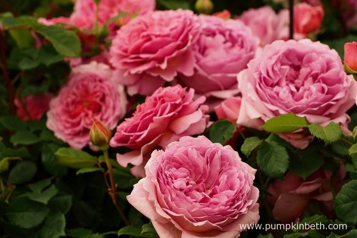 This is Rosa 'Princess Alexander Of Kent' from David Austin Roses, a pretty rose with a charming fragrance.