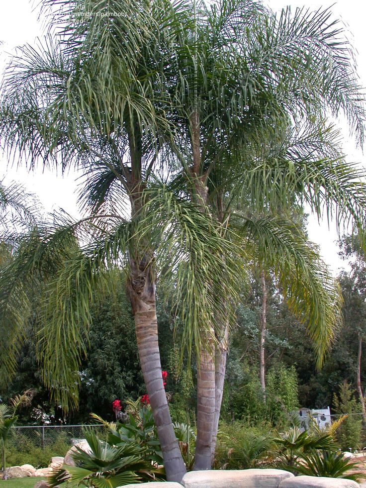 Full size picture of queen palm cocos plumosa jeriva for Garden design with palms