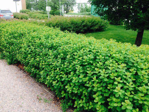 spiraea-betulifolia-aidanne.jpg 600×450 pikseliä