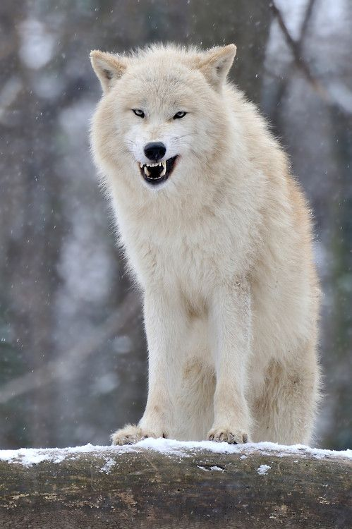 1000+ ideas about Wolf Growling on Pinterest