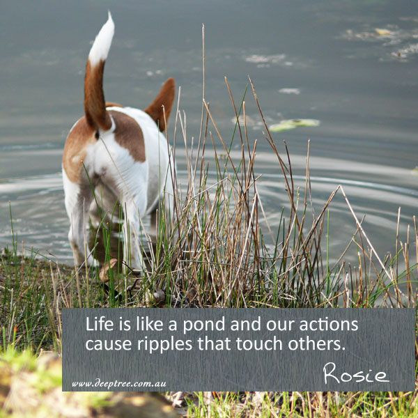 LIfe is indeed like a pond. Our actions cause ripples that reach out and touch others. Always make sure the energy you are sending out is positive and constructive...you never know who it might reach. #Rosie #Rosiesays #lifecoaching www.deeptree.com.au