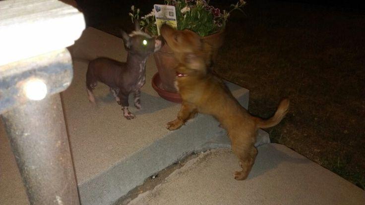 My peruvian dogs