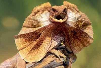 Frilled-Neck Lizard: Australia's Reptile Emblem