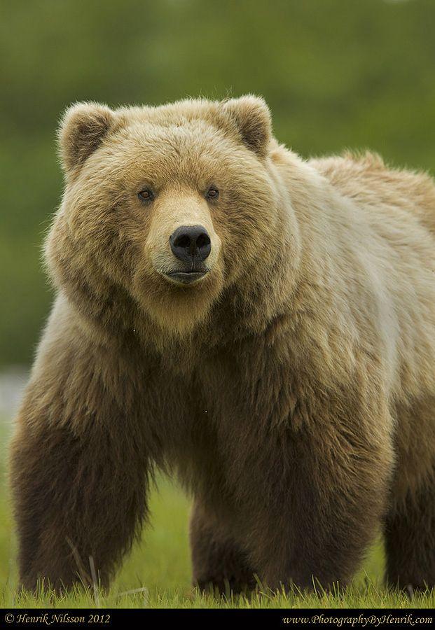Katmai Brown Bear, Alaska