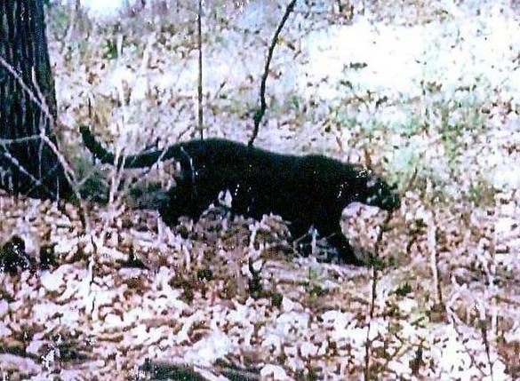 Image of black panthers in WV. These were supposed to live all the way down into FL. They were called black painters.