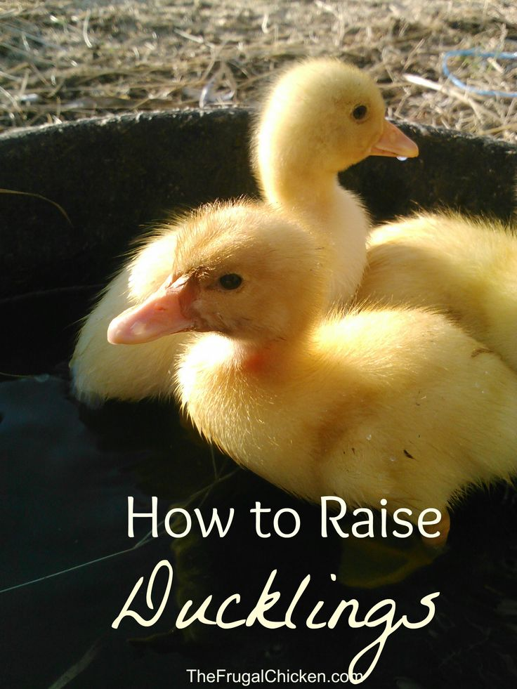 How To Raise Ducklings