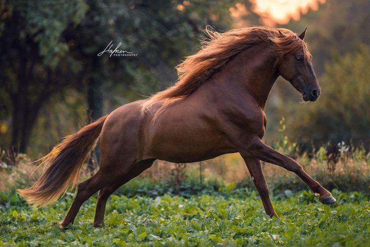 Andalusier Hengst galoppiert im Sonnenuntergang über die Wiese | Fuchs | Pferd | Bilder | Foto | Fotografie | Fotoshooting | Pferdefotografie | Pferd…