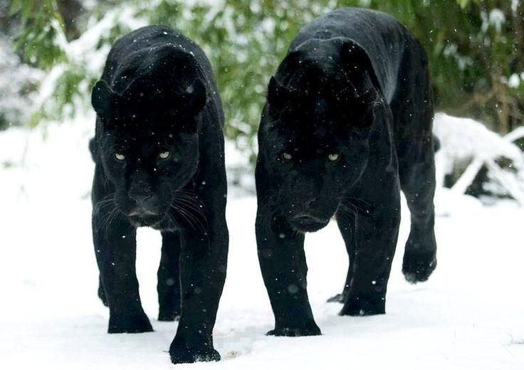 Leopardo negro, puma...