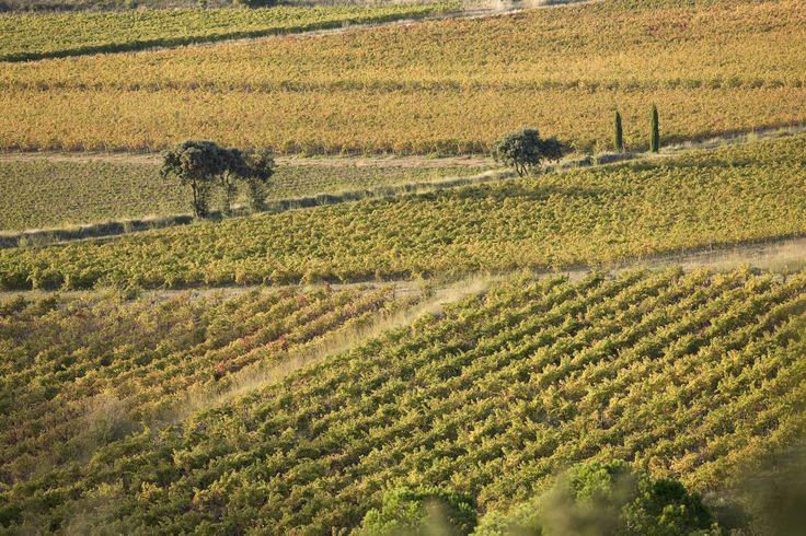 Les vignes de Fontfroide