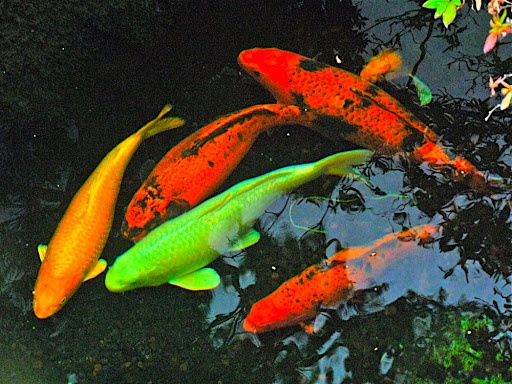 Japanese koi ponds japanese koi fish healthy in roof for Colorful pond fish