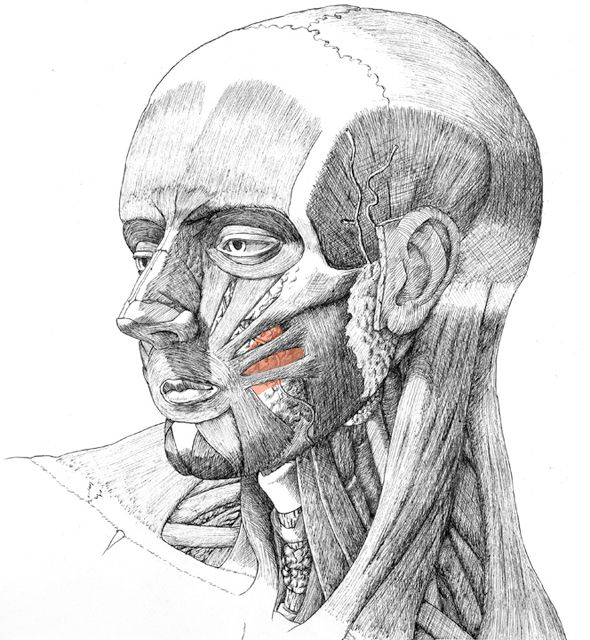 Blake Ketchum | Muscular Anatomy of the Face...Like the pen and ink detail...... Some people are sooooo talented.